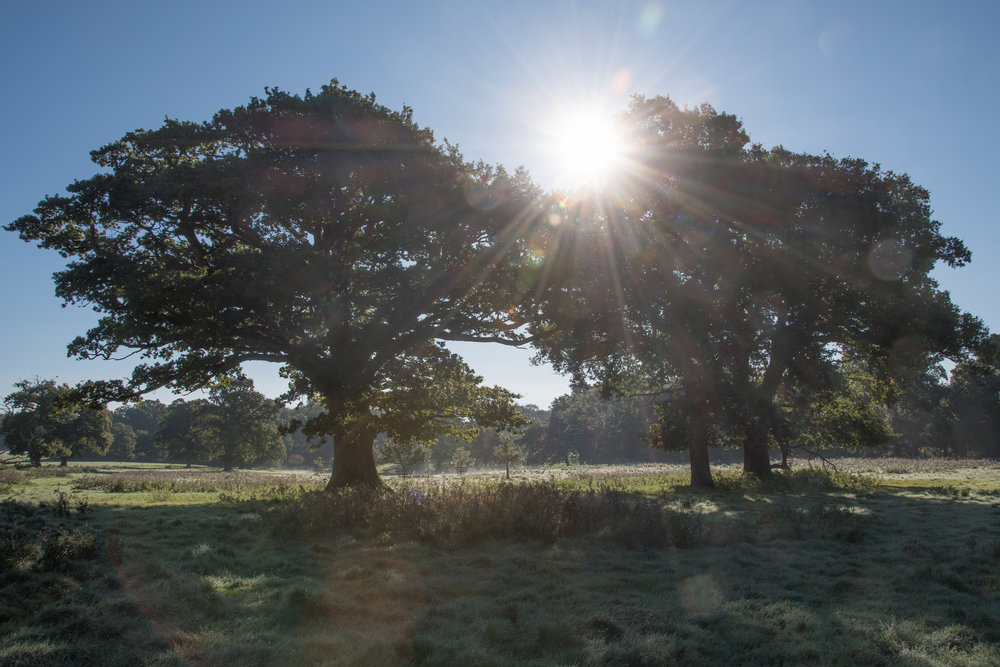Photo: Oaks on Knepp Estate