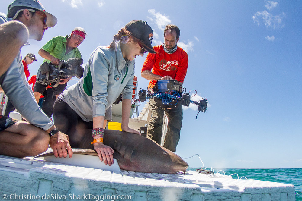 Dr. Duncan Irschick with the first generation of Beastcam Technology 3D scanning a shark