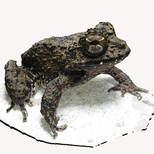Rusty Robber Frog.png