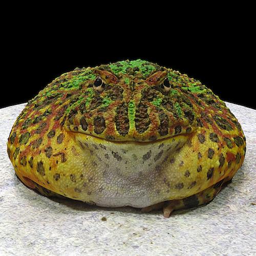 horned frog.png