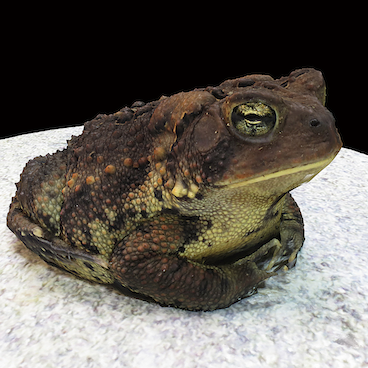 fowlers toad.png