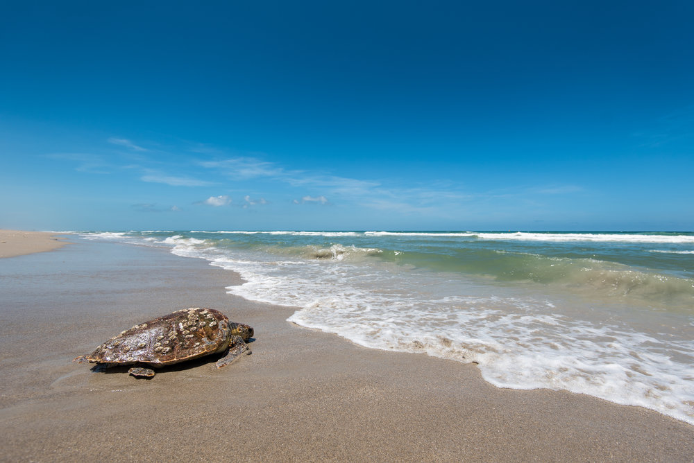 Loggerhead sea turtle on beach - Photographer Christine Shepard.jpg