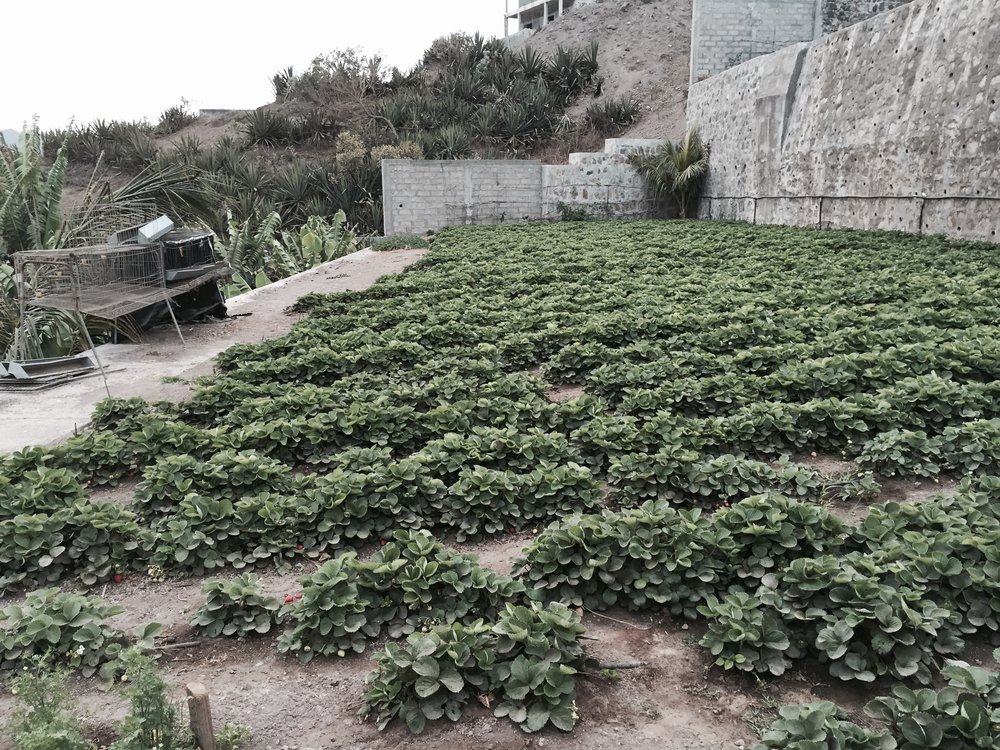Strawberry farm, Assomada, Santiago. 2016