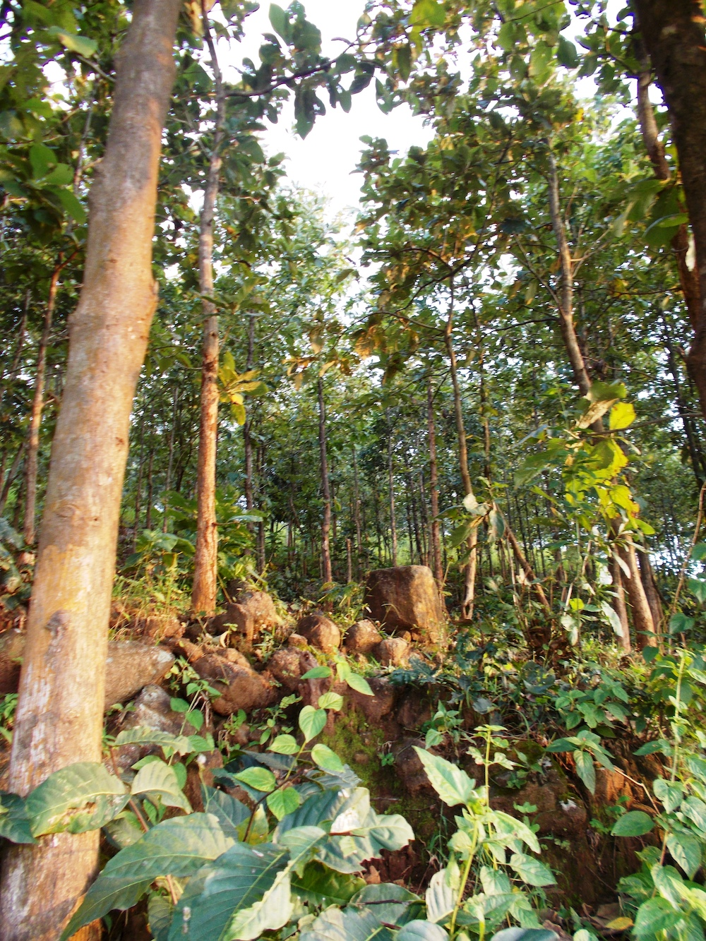 Compensated teak forest