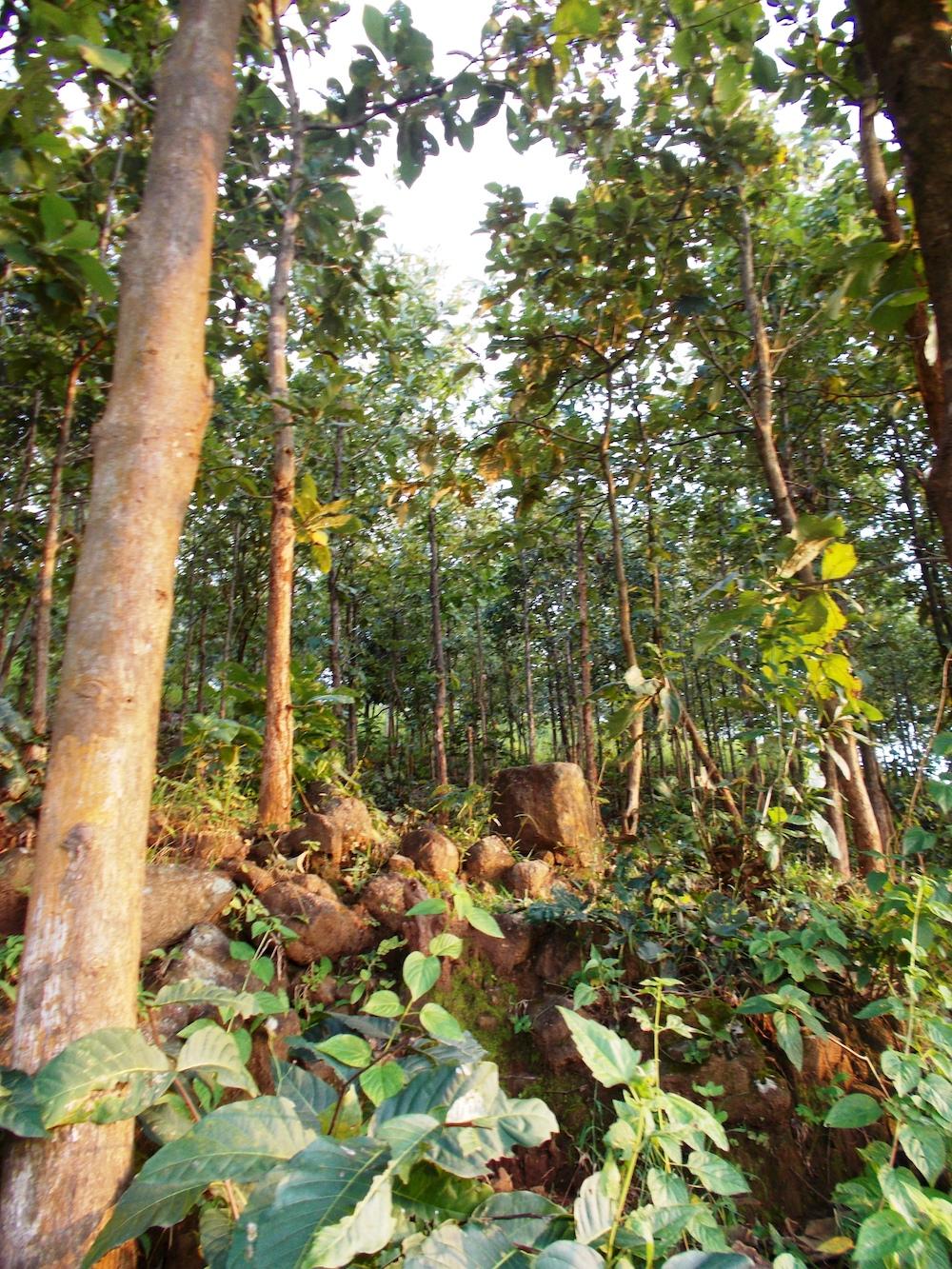 Compensated teak forest