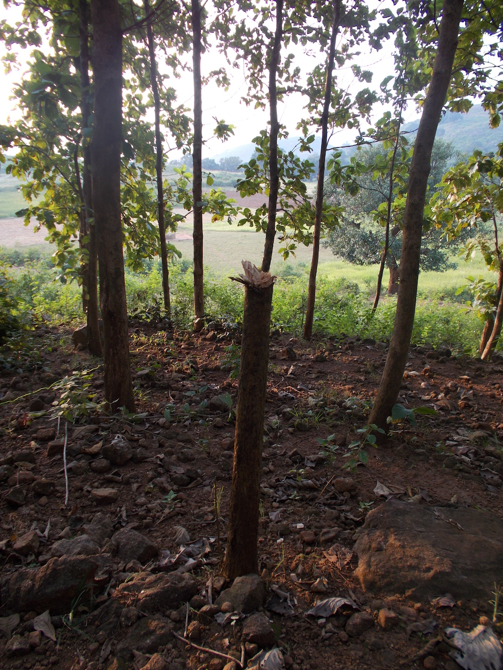 A cut tree in the compensated teak forest