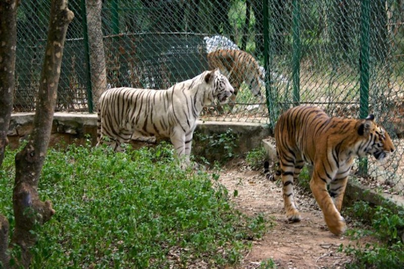 Tigers at Bannerghatta National Park. Flickr CC/ Prateek Rungta