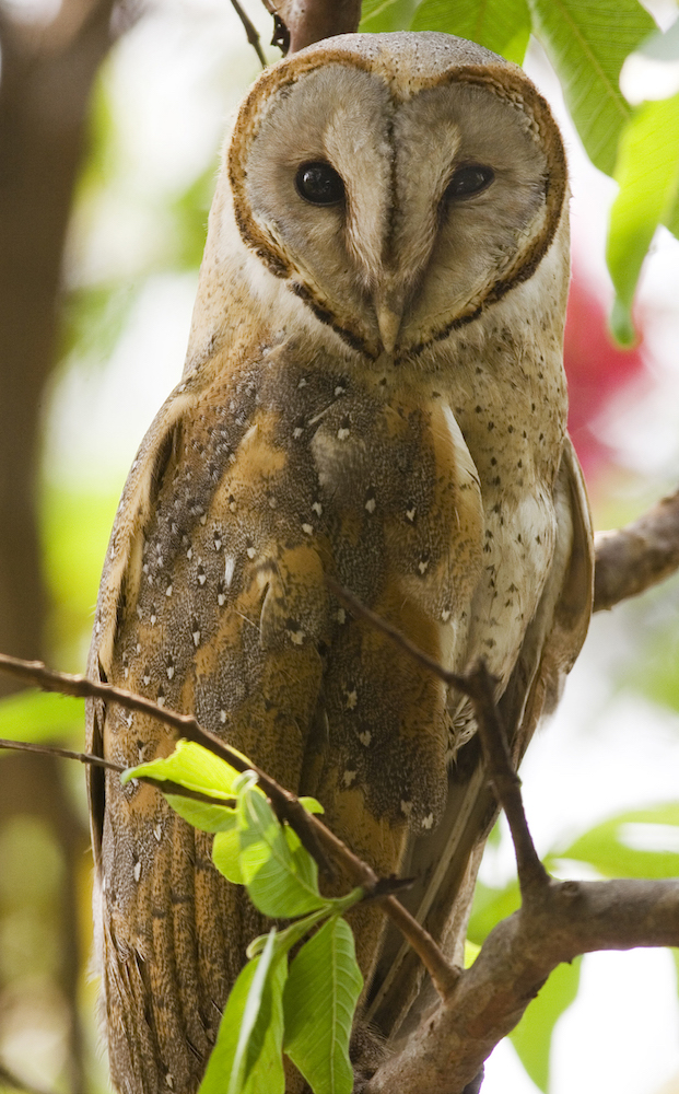 A barn owl is quite commonly spotted in human habitation.  Source