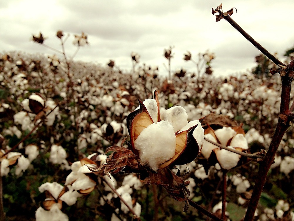 Close to 300,000 Indian cotton farmers have committed suicide since 1997 owing to expensive GM seeds and chemicals, forcing them into a cycle of debt.