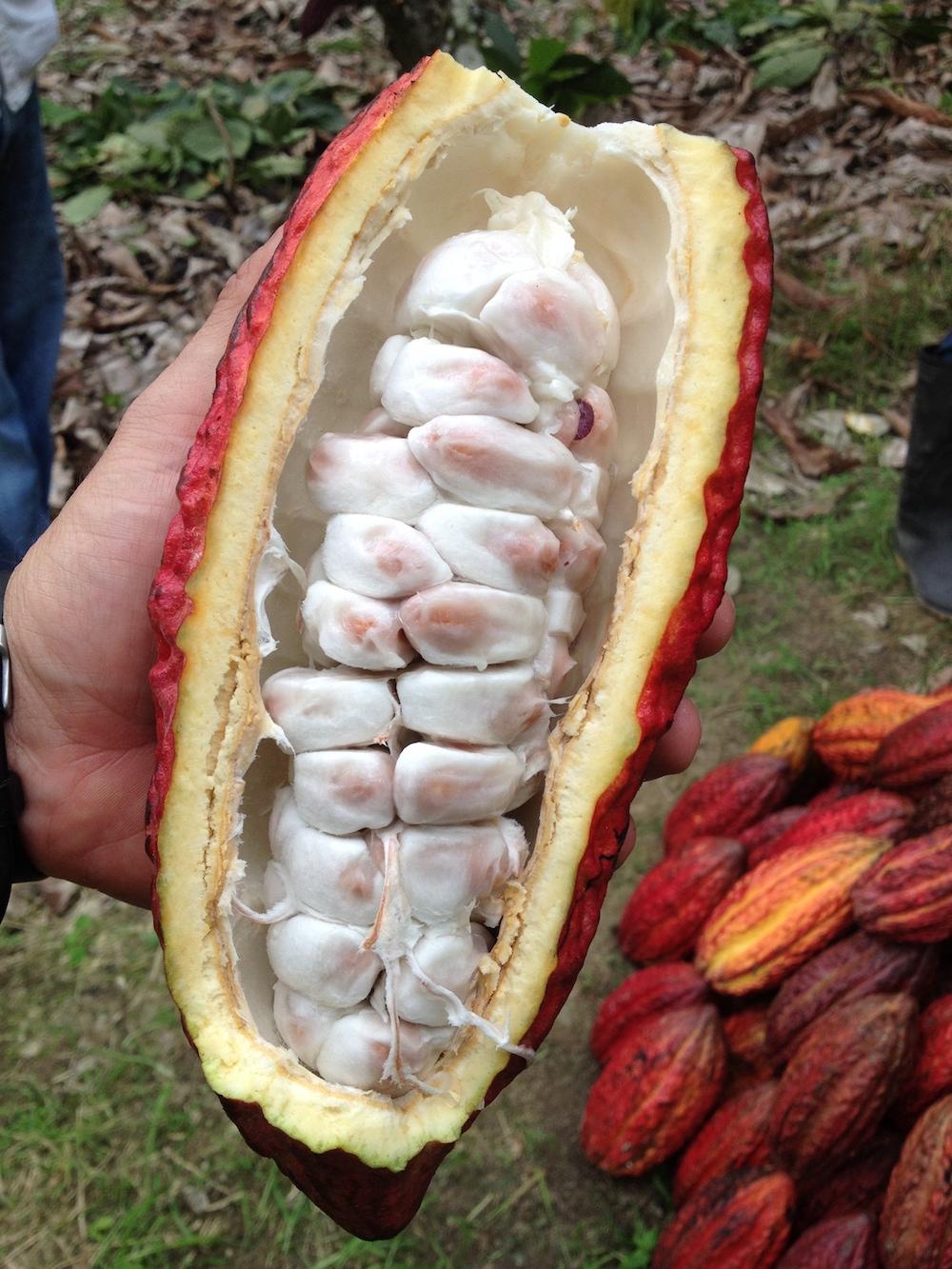 Cacao pod (CCN-51). Image credit Simran Sethi