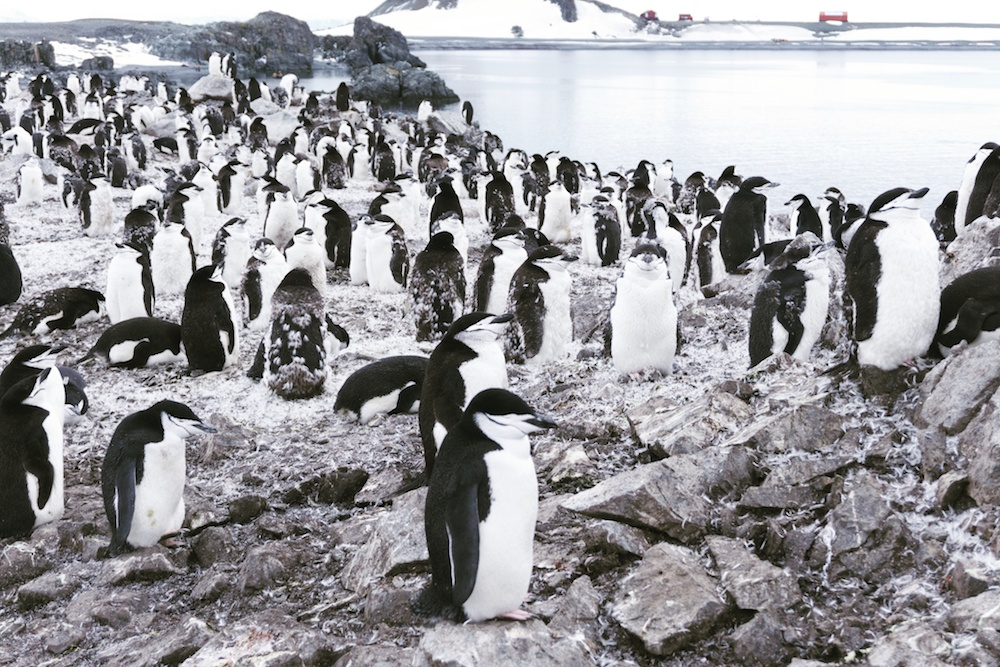 A colony of chinstrap penguins on Half Moon Islands