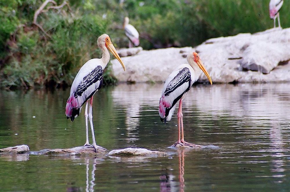 Painted storks at Ameenpur Lake Image: Wikimedia Commons