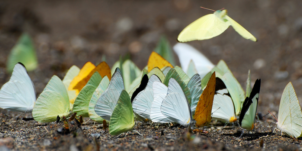 Mud-puddling butterflies. Image: Wiki Commons