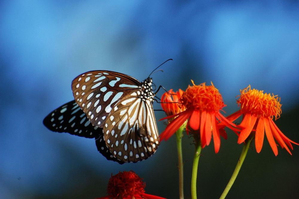 A Blue Tiger. Image: Flickr/ Dr Vipin Challayil