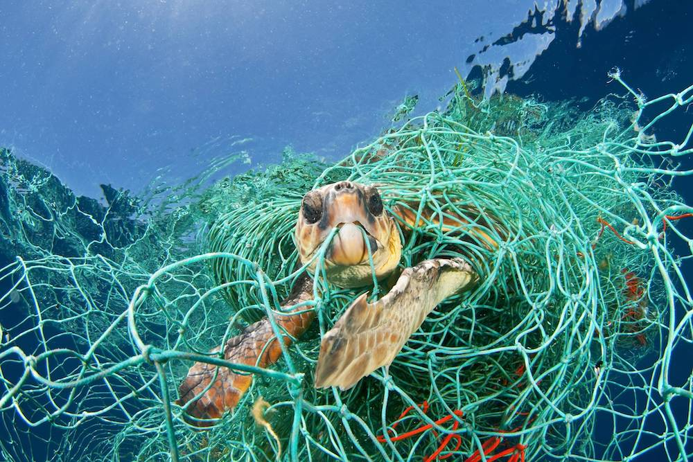 A turtle caught in a ghost fishing net Source