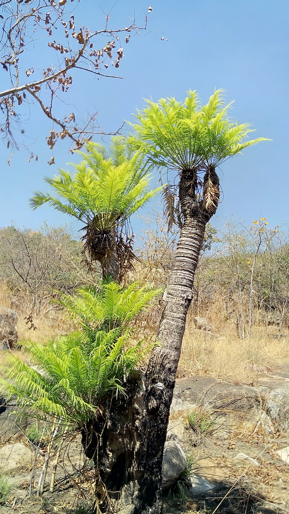 Cycas swamyii (  ಮೊಂಡಿಚ್ಳು) is an ancient example of evolution in flora. It is an ornamental species but more needs to be known about its ecology to allow for in-situ and ex-situ conservation of this endangered tree.
