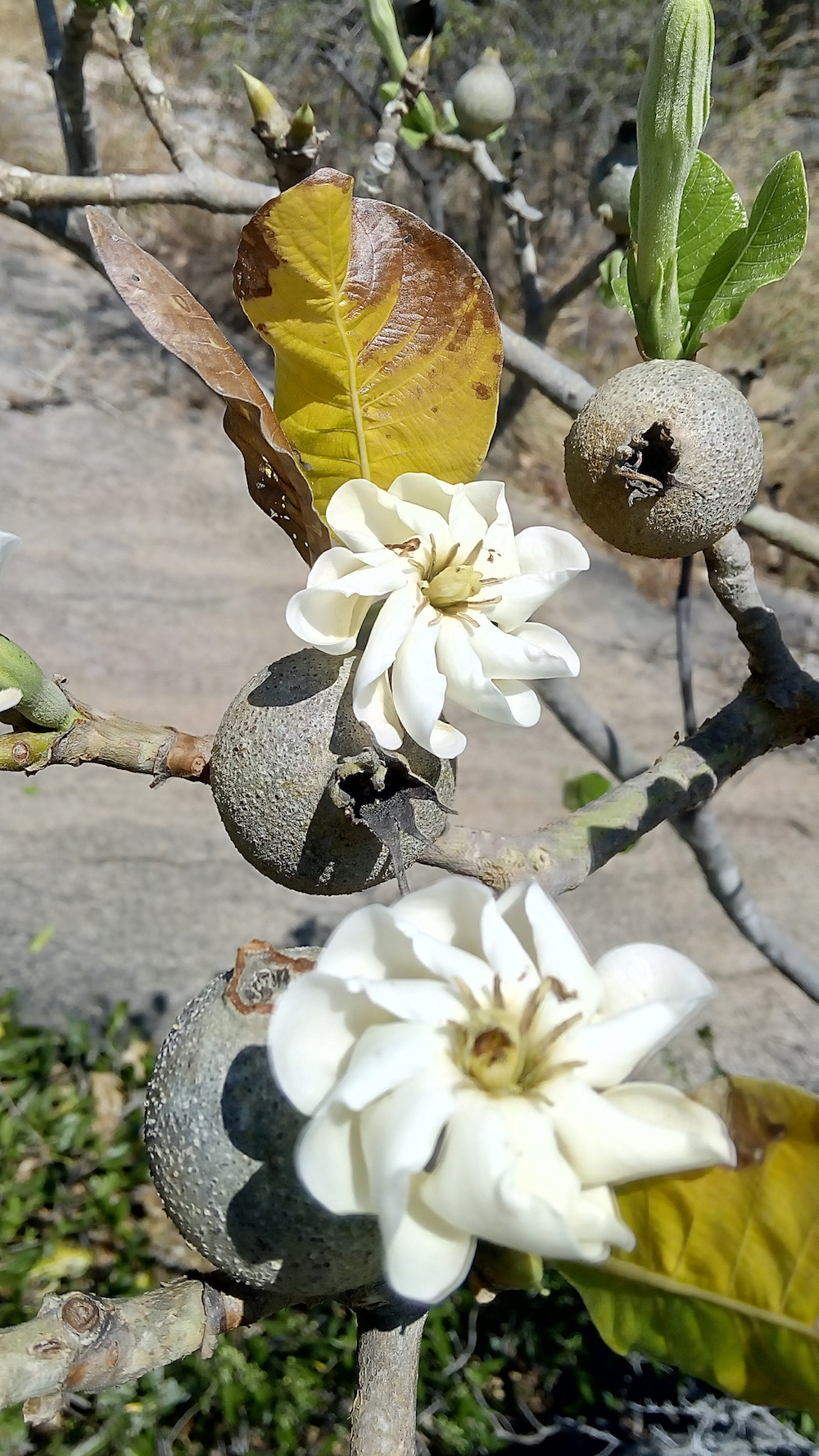 Gardenia latifolia  (ಕಾಡು ಬಿಕ್ಕೆ) is an ornamental treelet bearing mildly fragrant flowers which bloom around February. Its fruits last for most part of the year and feed birds and other fauna. Birds sense their ripening and devour most of these seeds and disperse them. The sweet fruits are also enjoyed by humans. Kaadu Bikke is common in the dry forests of Dharwad, Belgaum, Bijapur, Bellary and Tumkur. As its Latin name indicates, this tree is an ideal ornamental one for rural and urban planting.