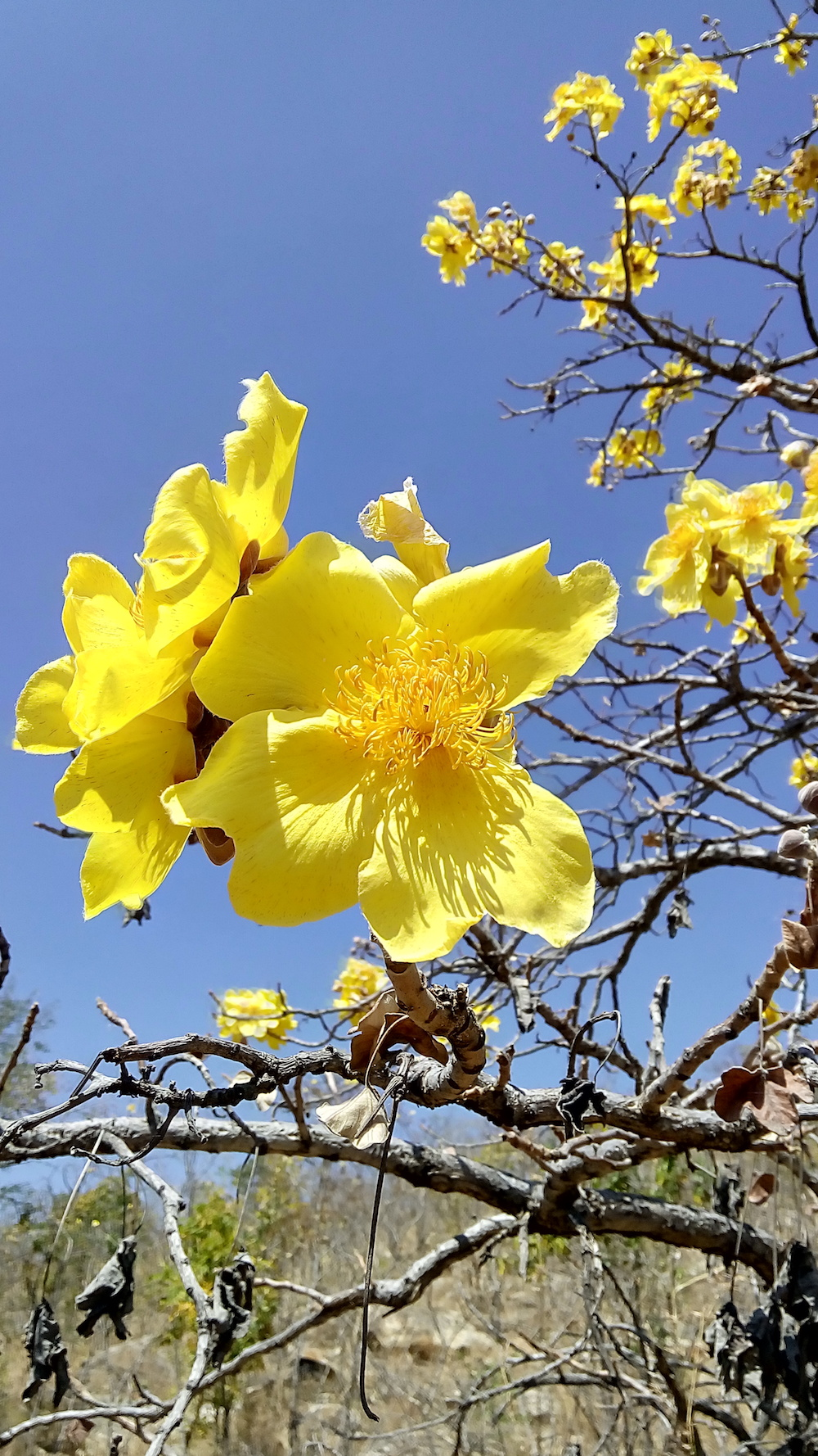 Cochlospernum religiosum (ಅರಿಶಿನ ಬುರುಗ) or Yellow Silk Cotton Tree in English. It is a short ornamental tree with showy, bright yellow, mildly fragrant flowers.