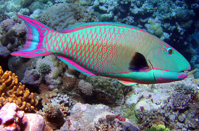 Rainbow parrotfish ( Scarus guacamaia)   Source