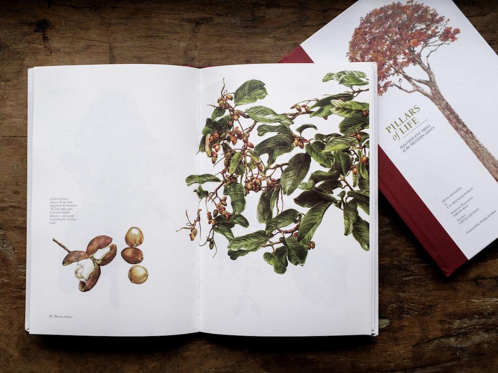 Bhesa indica, a tree of many hues