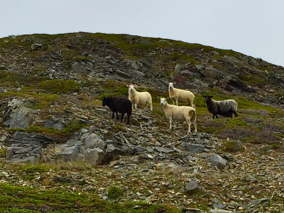 Sheep at Bradley's Cove. Sheep sighting not guaranteed!