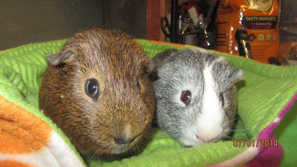 Nutmeg and Neptune at Blackberry Patch Guinea Pig Rescue and Sanctuary, Essex