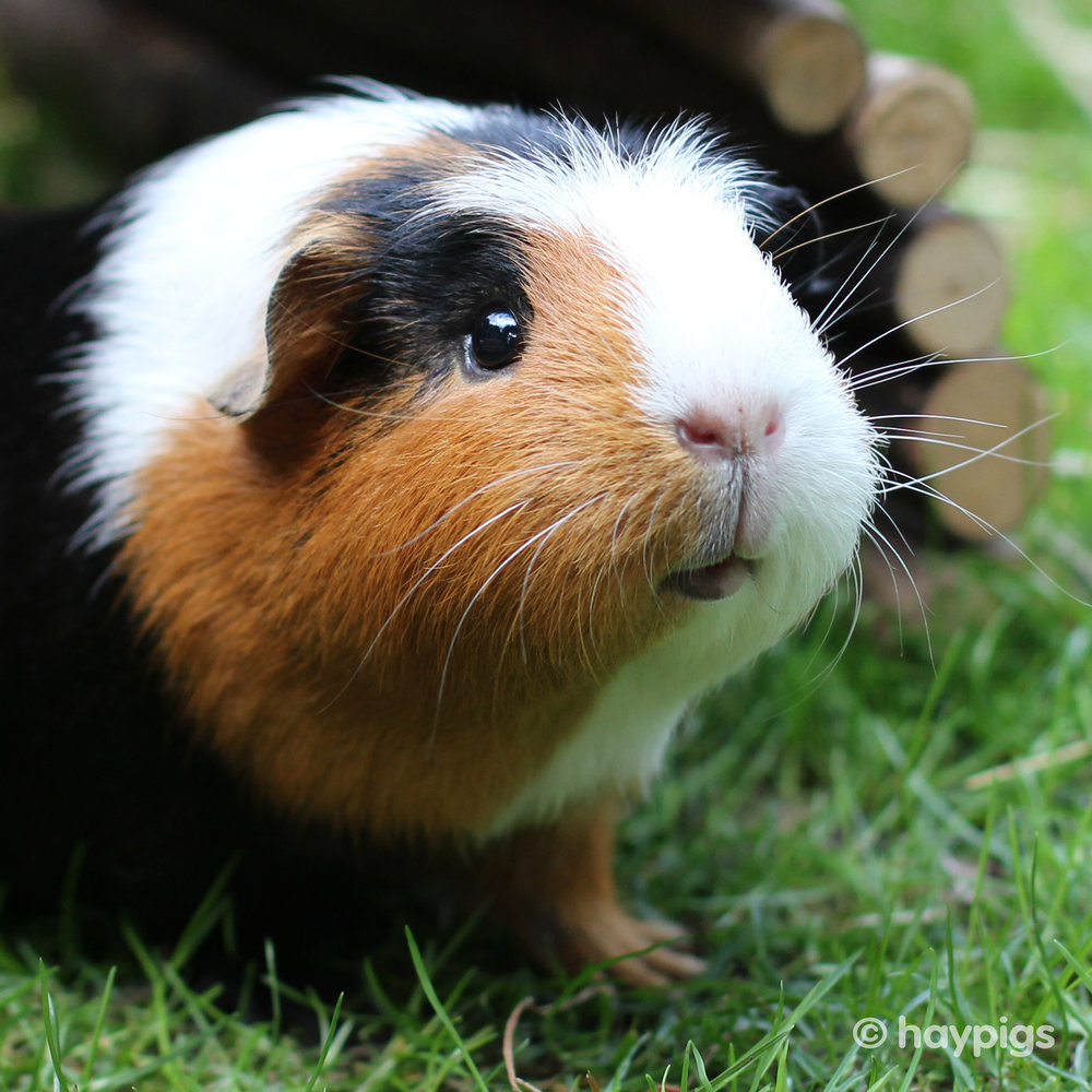 haypigs where do guinea pigs come from