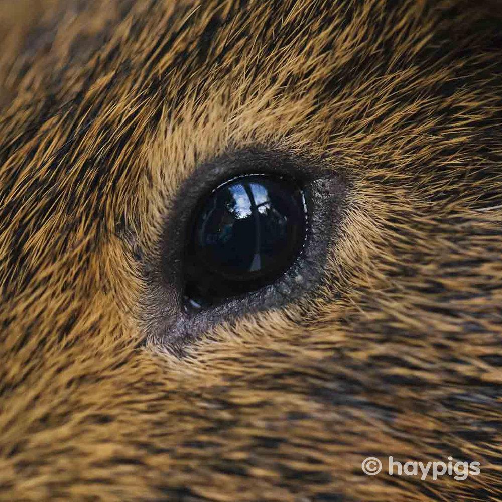 HayPigs_Nutmeg_Guinea_Pig_028.jpg