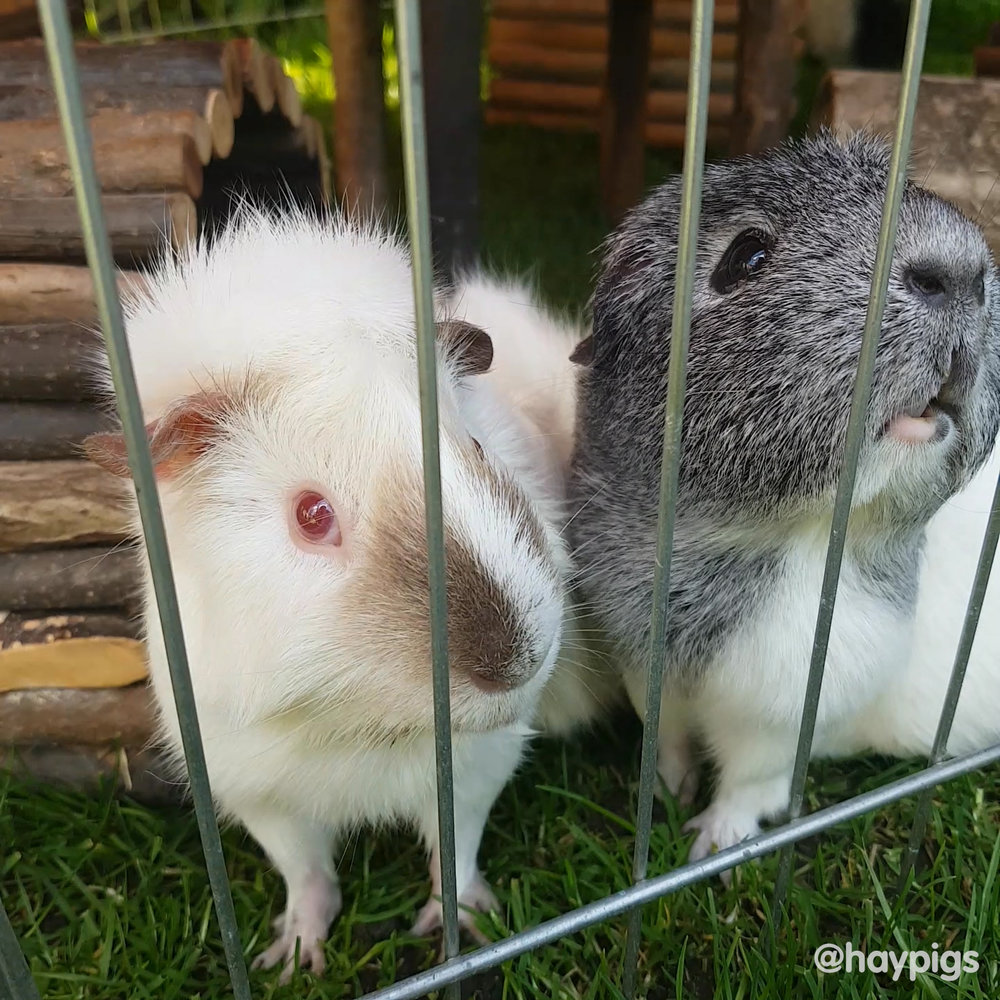 HayPigs_Pepper_Guinea_Pig_026.jpg