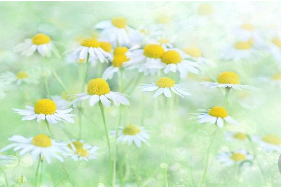 German chamomile  Chamomile essential oils are anti- allergenic , and they help cure acne by removing toxins and cleaning  sebaceous and eccrine glands through sweating. Helps diminish scars, marks, and spots on the face. Calms the skin tissue from irritation.