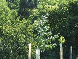 156_Maple_tree.JPG