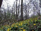 176_Steep_bank_of_Yellow_flowers.JPG