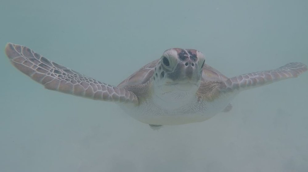 Green Turtle Cay Turtle