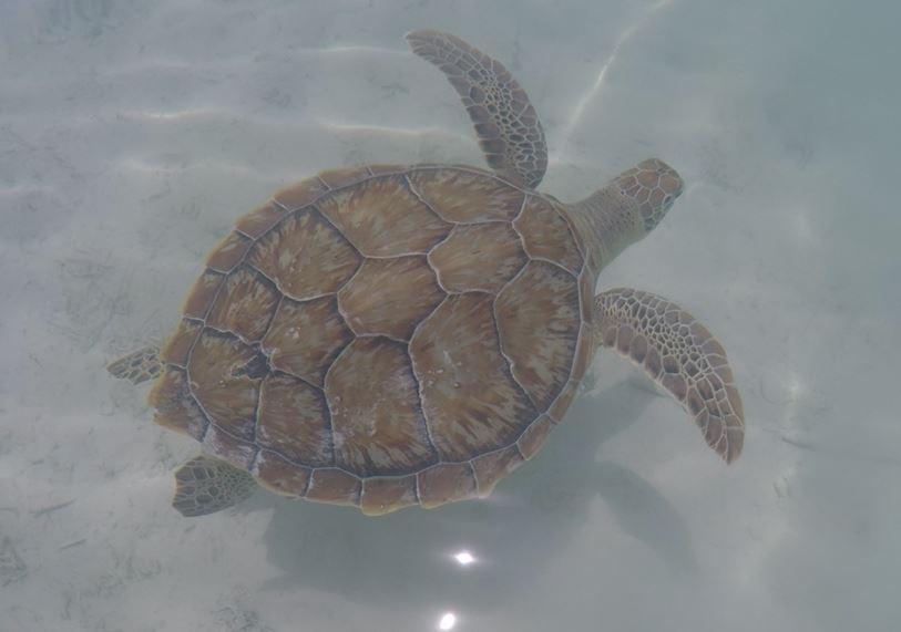Green Turtle Cay Turtle Swimming