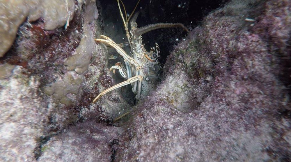 Mermaid Reef Lobster