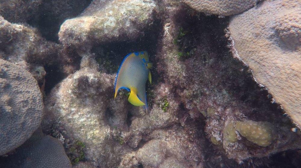 Mermaid Reef Angel Fish Colored