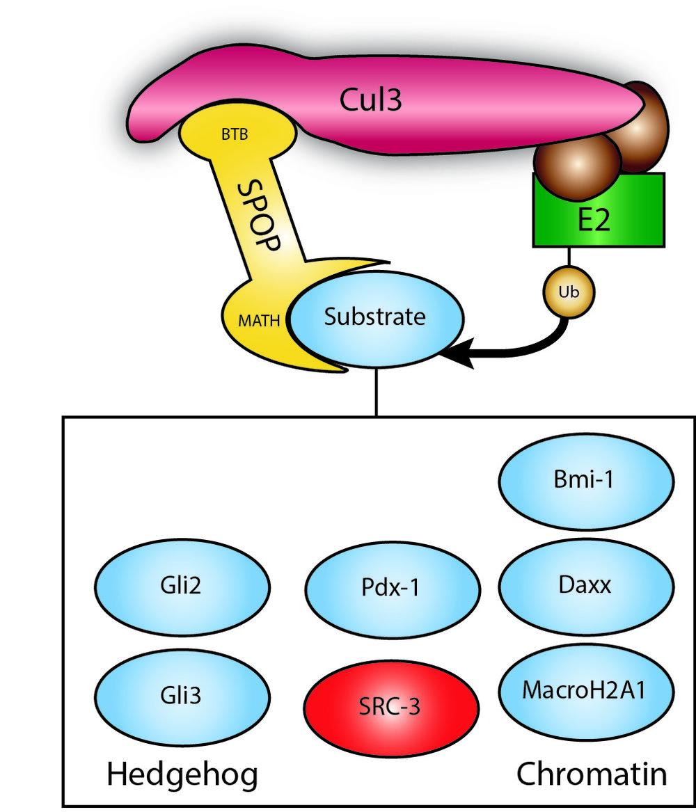 SPOP Substrates 8-13-13.jpg
