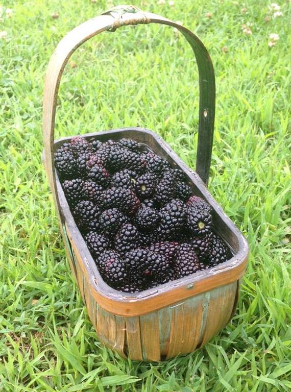 Morning glory blackberries in basket on farm.jpg