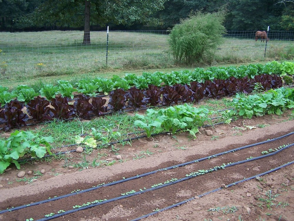 Spreading oaks lettuces growing with sprouts in forfront wit irrigation.jpg