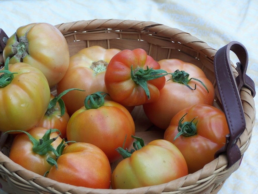 Tomatoes in basket Morning glory.jpg