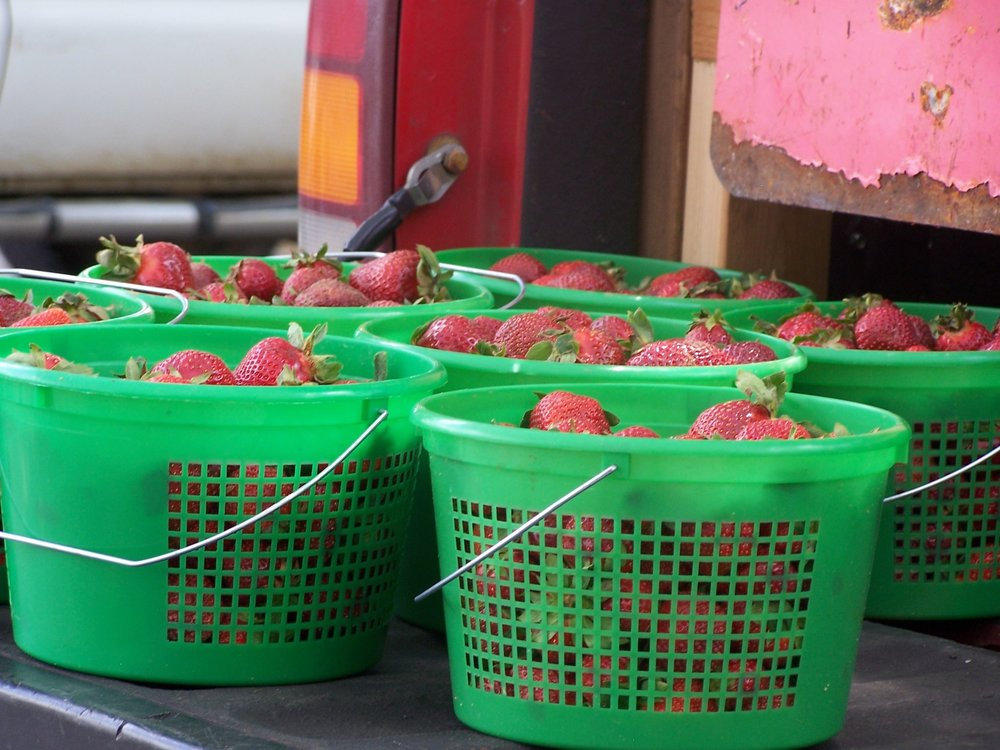 FFF Strawberries in green baskets on bed of truck.jpg