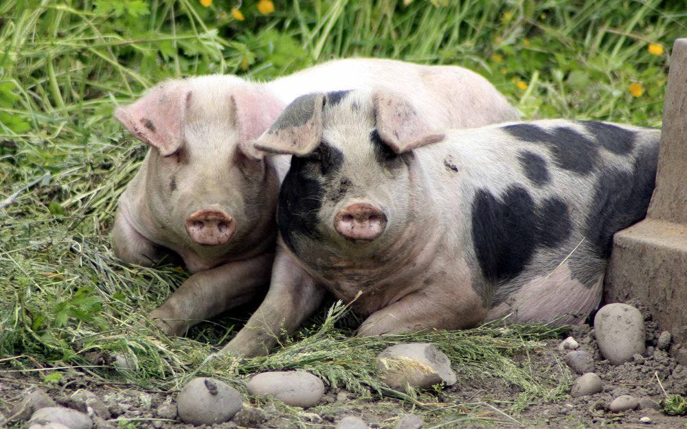 bigstockphoto_Pigs_In_A_Sty_5506775.jpg