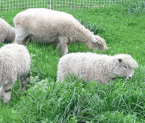 browders-birds pastured poultry sheep.jpg