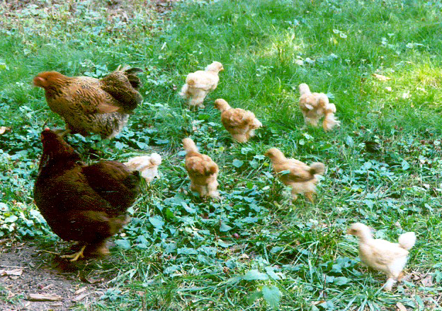 Best Practices for Pastured Poultry Health, Production & Profit    ,   October 24, 2017  Learn more about how to run a successful pastured poultry operation. Mike Badger, Executive Director of the American Pastured Poultry Producers Association (APPPA) shares best practices for raising birds on pasture.     Watch Recording  or  Download Slides