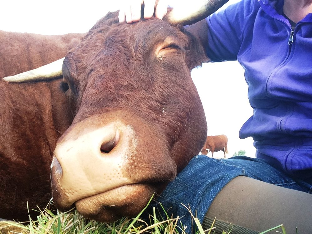 The cows at Walker Farm on Whortleberry Hill receive a high level of care and companionship. Walker Farm received a Fund-a-Farmer Grant from FACT's Humane Farming Program.