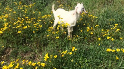 Goat Herding Basics   ,  March 14, 2018  Annie Warmke of Blue Rock Station in Ohio will share how to get started in goat herding, and will take us through some great natural based strategies for keeping goats healthy and happy.    Watch Recording    or    Download Slides