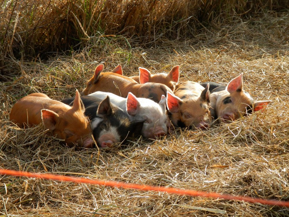 Raising Pigs in an Agroforestry System ,  April 11, 2018  Weston Lombard of Solid Ground Farm will discuss why hogs and tree crops are an ideal silvopastoral combination. Learn how to design and implement a year-round agroforestry-based system that creates diverse yields and improves the farm ecosystem.     W  atch Recording  or  Download Slides