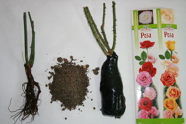 выращивание саженцев роз (2).jpg