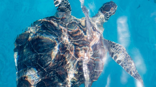Sea turtle on the Great Barrier Reef, picture courtesy of Gettyimages.co.uk / Jane Mcdougall / EyeEm