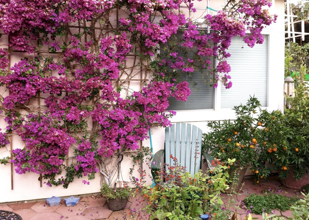 We pass two lemon trees; the walls of a nearby shed are growing lavender bougainvillea.